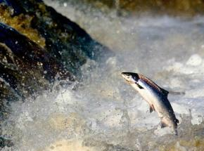 Salmon on their way to spawn in late Autumn
