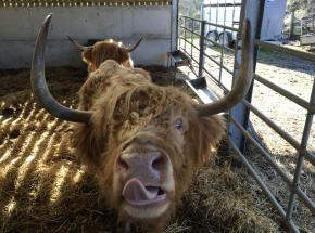 Feed a Highland Cow...