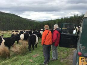 Some belted Galloway Cattle...
