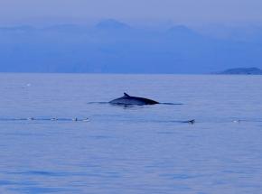 Minke whale, Skye