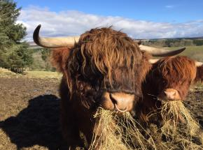 Meet a herd of Highland Cattle...