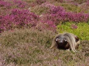 The Haggis (or plural Haggi) in its mountain habitat.