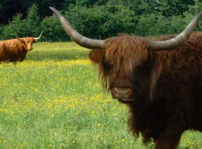 Highland Cattle at the Hotel