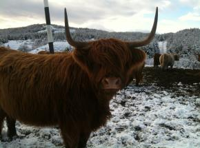 A Highland Cow or